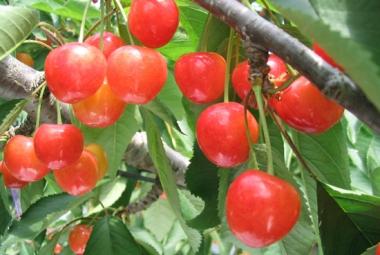 青岛樱桃好吃土壤很重要
