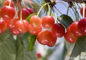青岛樱桃种植管理与24节气关系