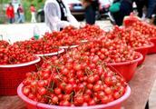 成都周边最大的樱桃种植基地,年产樱桃近2000万斤,最贵才20元!