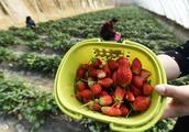 草莓采摘园创业,为何会失败