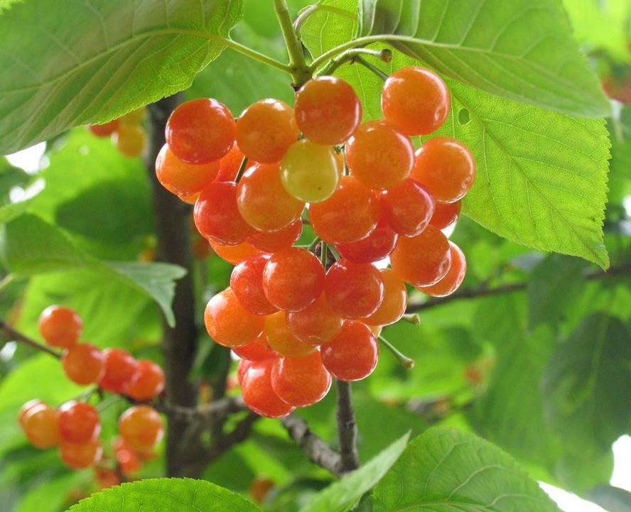 青岛樱桃采摘节—樱桃的维生素含量有多少