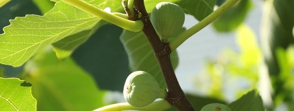 樱桃栽植密度与肥水管理