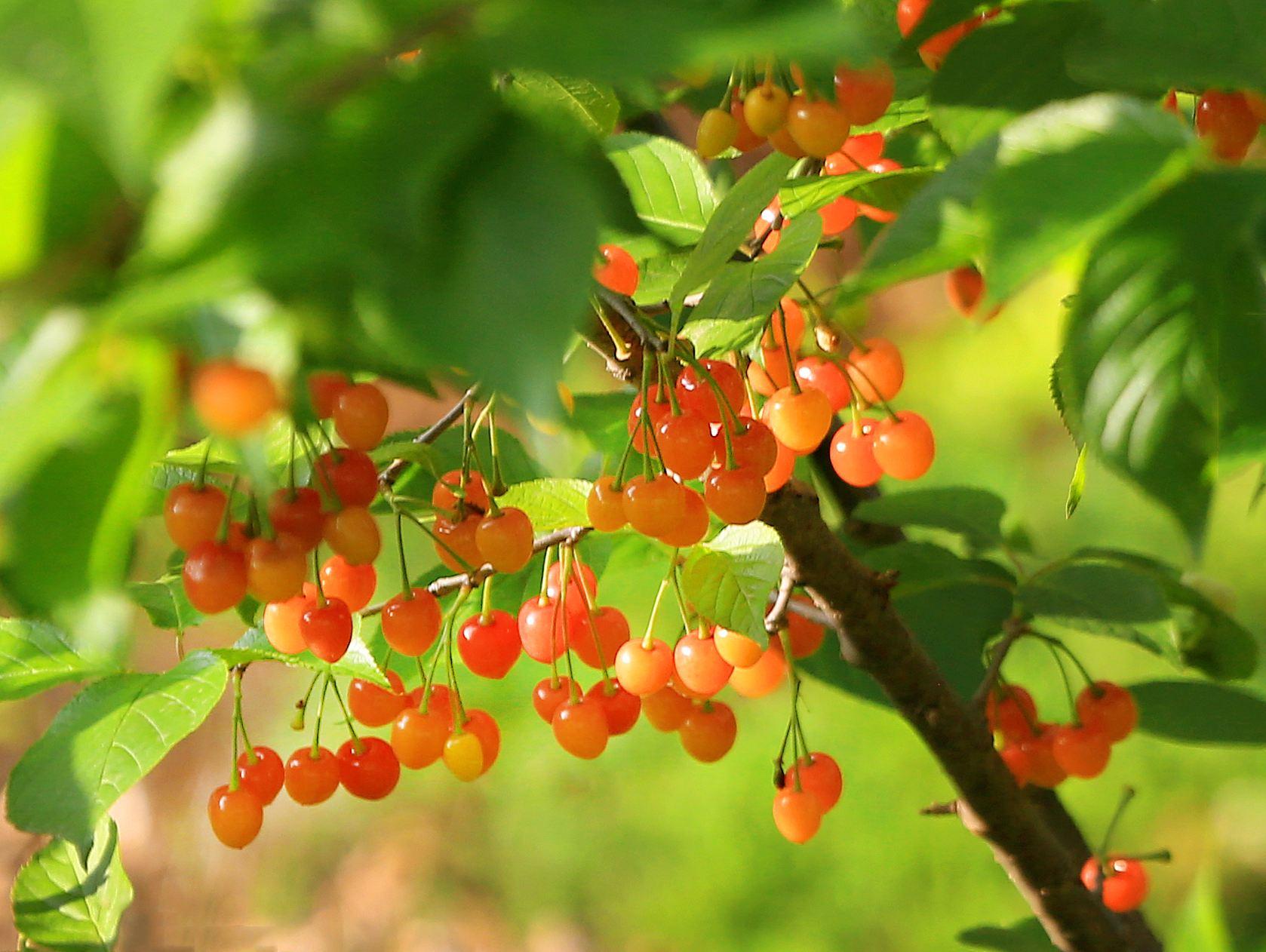 青岛樱桃产业发展