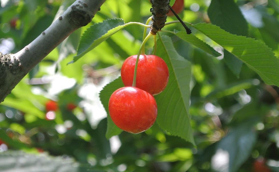 如何防止樱桃裂果