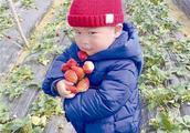 市郊草莓园节后迎来采摘高峰