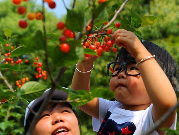 青岛樱桃产业需要现代化经营