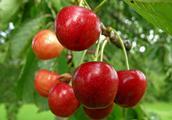 樱桃栽培技术 科学种植