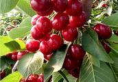 农民种植的樱桃,一斤40元,还供应不求,亩产值高达30000元!