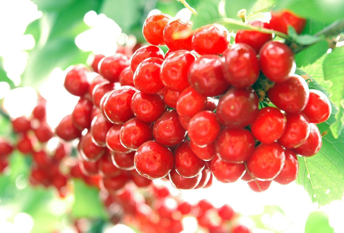 霞沟樱桃采摘:樱桃如何栽培管理