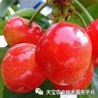 青岛摘樱桃正当时 错过等一年!