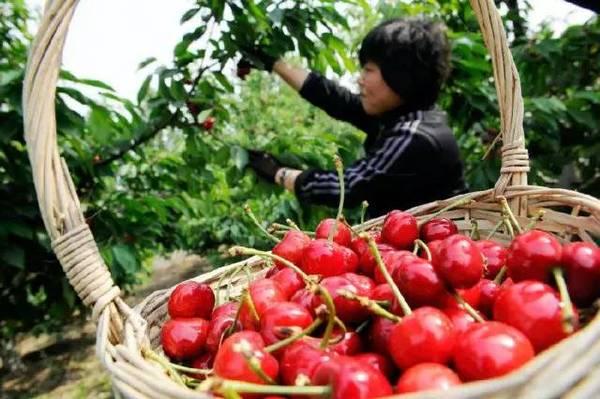 青岛夏庄樱桃生长需要的光照与通风