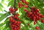 《致富经》之十:樱桃种植高产技术