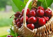 樱桃品种及种植园地选择有哪些技巧