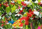 青岛大棚樱桃最具竞争力的三种主栽品种?