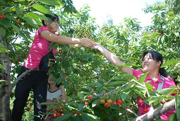 樱桃的根系生长