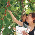 吃樱桃的注意事项有哪些—2018青岛樱桃采摘节