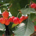 樱桃采摘时间:土耳其樱桃出口增加