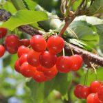 2021青岛樱桃采摘节开始了