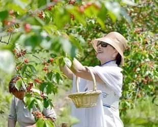 青岛樱桃采摘的发展
