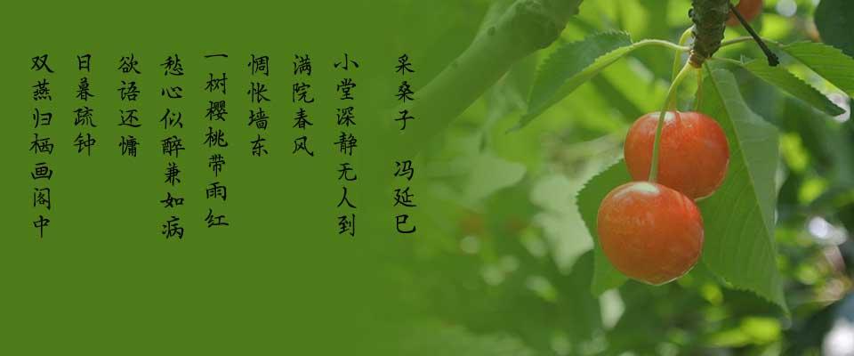 青岛毛公山樱桃采摘