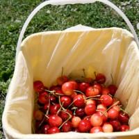 青岛樱桃采摘:喜欢吃樱桃的孩子们应该要知道怎么清洗