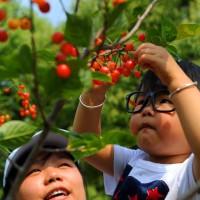 青岛樱桃故事分享:吃货竟用奶粉罐装车厘子