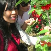 青岛樱桃采摘:樱桃的育苗方法这么多