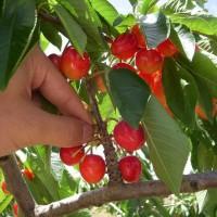 青岛樱桃产业扛起转型重任