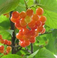 青岛樱桃树的管理要点