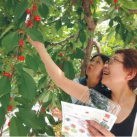 青岛崂山樱桃嫁接苗出圃前的注意事项