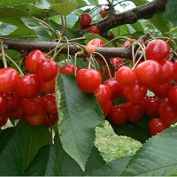 青岛樱桃,喝樱桃汁可降血压