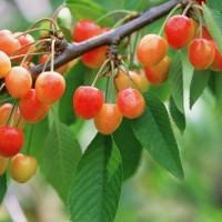 青岛樱桃生长需要什么样的气候条件