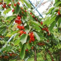青岛夏庄樱桃种植