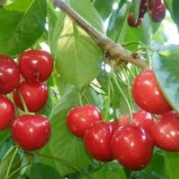 樱桃采摘节与乡村旅游