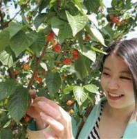 青岛樱桃采摘节要注意生态保护