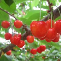 爬山、樱桃、农家宴:让你回归自然