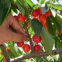 青岛乡村旅游:樱桃采摘节