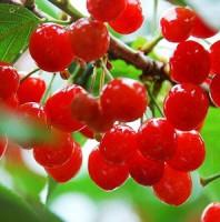 想吃无公害的樱桃,就来青岛郝家樱桃采摘园