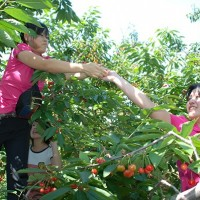 樱桃采摘节带动城乡一体化发展