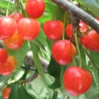 樱桃采摘园应该加强栽培管理