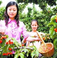 打造青岛樱桃采摘节特色