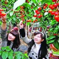 青岛樱桃采摘旅游的意义