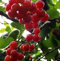 青岛樱桃采摘行业面临的瓶颈