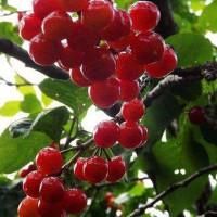 青岛北宅樱桃熟了么?