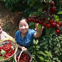 青岛樱桃采摘带动群众致富