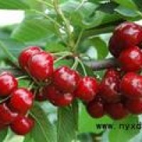 农业种植技术:大棚樱桃的种植技术及其后期管理