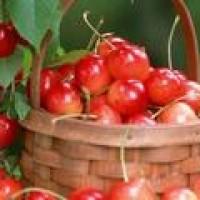 为什么越来越多的人选择种植大棚樱桃?