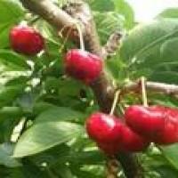 青岛樱桃品种|状元红樱桃怎么来的?个大、果早丰产、口感好