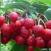 樱桃种植几年可以见效益?