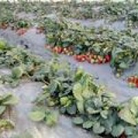 采摘园的草莓